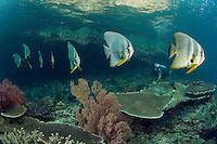 Batfish Conga Line, and Diver