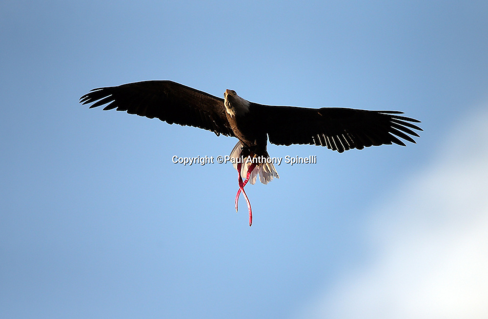 Challenger, a non-releasable Bald Eagle named in honor of the fallen space shuttle crew, flies over the stadium carrying a pink ribbon in honor of breast cancer awareness during the San Diego Chargers 2015 NFL week 5 regular season football game against the Pittsburgh Steelers on Monday, Oct. 12, 2015 in San Diego. The Steelers won the game 24-20. (©Paul Anthony Spinelli)