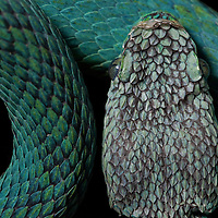 Merendon palm-pitviper, Bothriechis thalassinus from the Sierra Caral, Guatemala