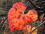 Red heart-shaped leaf. Upper Bidwell Park, Chico, Butte County, California, USA.
