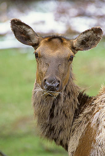 Elk, (Cervus elaphus) Portrait of cow with shedded hair in mouth from scrathing shedding winter coat.