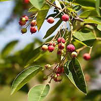 The edible berries of the Serviceberry, a North Ameircan native shrub (Amelanchier canadensis, Amelanchier laevis).