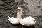 affectionate Swans in a lake Photographed in Bruges, Belgium