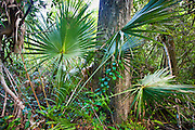 Sabal palms, Sabal palmetto, by Big Cypress Bend boardwalk at Fakahatchee Strand, the Everglades, Florida, USA