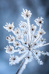 Hoar frost on seedheads of Hogweed, Heracleum sphondylium