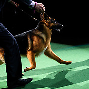 February 16, 2016 - New York, NY : The German Shepherd enters the arena for Best of Show judging during the 140th Annual Westminster Kennel Club Dog Show at Madison Square Garden in Manhattan on Tuesday evening, February 16, 2016. CREDIT: Karsten Moran for The New York Times