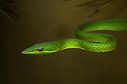 Green vine snake (Oxybelis brevirostris)<br /> ECUADOR. South America<br /> Habitat & Range: rainforest of Central and South America. From Honduras, Nicaragua, Costa Rica & Panama to Colombia and Ecuador