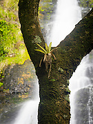 Tree and bromeliad, with Los Prieto Falls, El Yunque National Forest, north of Naguabo, Puerto Rico.