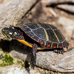 A painted turtle, Chrysemys picta, near Stonehouse Pond in Barrington, New Hampshire.