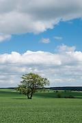 Feld, Baum, Landschaft im Ostharz bei Stolberg, Harz, Sachsen-Anhalt, Deutschland | field, tree, landscape in East-Harz near Stolberg, Harz, Saxony-Anhalt, Germany