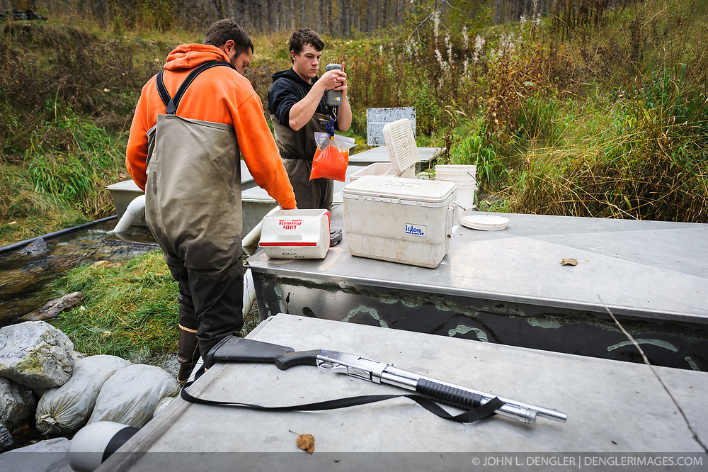 Dylan Burbank (right), and David Campbell, fish technicians for the non-profit Northern Southeast Regional Aquaculture Association, Inc. (NSRAA), measure and record the weight of eggs collected from chum salmon captured at the man-made spawning channels at Herman Creek, located near Haines, Alaska.  <br /> <br /> In 2014, 2.4 million eggs were seeded into these incubation boxes. The 2013 incubation box survival rate was 90%. Without the artificial spawning, natural survival is said to be only 10%.<br /> <br /> Weighing the eggs is the way the technicians determine how many eggs are placed in the incubation boxes. After weighing, the eggs will be fertilized with the milt and then placed in the incubation boxes. Over the winter the fertilized eggs will develop into fry. The incubation process is 100% natural. Fry are not fed. Once they are big enough, the fish leave the incubation boxes on their own.<br /> <br /> The shotgun is kept handy for protection from bears.<br /> <br /> Based in Sitka, Alaska, NSRAA conducts salmon enhancement projects in northern southeast Alaska. It is funded through a salmon enhancement tax (of three percent) and cost-recovery income. NSRAA also produces sockeye, chinook, and coho salmon.<br /> <br /> Male chum salmon return to Herman Creek to spawn with female chum salmon during the fall chum salmon run. The chum salmon return to freshwater Herman Creek, tributary of the Klehini River after living three to five years in the saltwater ocean. Spawning only once, chum salmon die approximately two weeks after they spawn. <br /> <br /> Chilkat River and Klehini River chum salmon are the primary food source for one of the largest gatherings of bald eagles in the world. Each fall, bald eagles congregate in the Alaska Chilkat Bald Eagle Preserve.