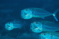 Long-jawed mackerel straining a meal through their gill baskets.