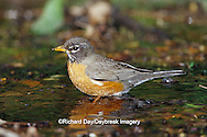 01382-04104 American Robin (Turdis migratorius) bathing, Tower Grove Park, St. Louis  MO