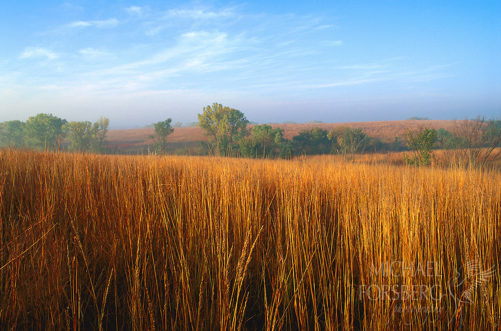 Nine-Mile Prairie, Nebraska.  Like coarsely woven threads pulled tightly together on a field of pale gold, six foot high big bluestem appears like a shag carpet laid out over the rolling countryside. This photo was taken on an October morning at Nine-Mile Prairie, one of the largest remaining unplowed tracks of native tallgrass prairie in Nebraska. Once, tallgrass prairie blanketed much of the Midwest. Today, only scattered remnants remain.
