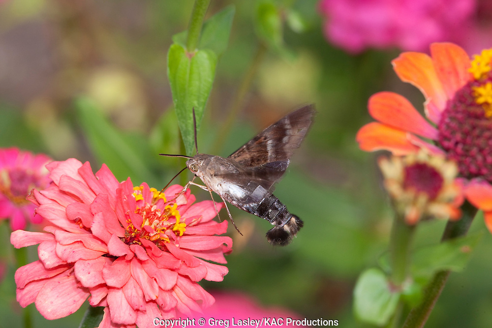 Titan Sphinx.Aellopos titan.sometimes called Hummingbird moth.Victoria Co., Texas.15 November 2009