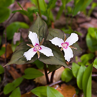 Painted Trillium (Trillium undulatum)  <br />