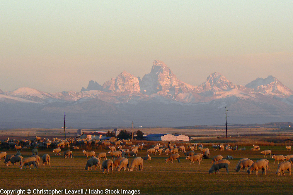 Grazing sheep and Teton Mountains near Ashton, Idaho .