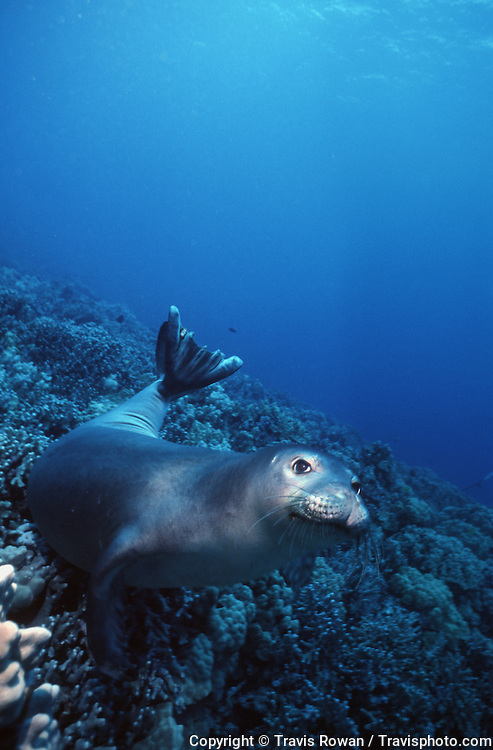 A Hawaiian Monk Seal rests on a reef on the Kona Coast, Hawaii.