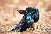 Burchells Starling Display, Satara, Kruger National Park, South Africa