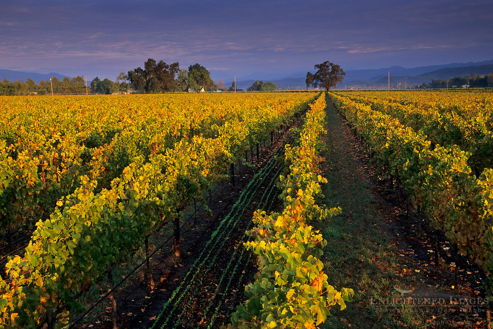 Vineyards at sunrise, near Yountville, Napa Valley, Napa County, California