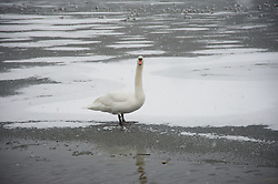 LIVERPOOL, ENGLAND - Friday, January 18, 2013: A swan stands on the ice in Sefton Park's frozen Boating Lake during the first snow fall of the winter in South Liverpool's Victorian Park. (Pic by David Rawcliffe/Propaganda)