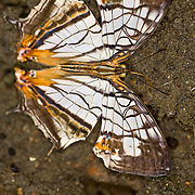 Cyrestis thyodamas formosana, the Common Map Wing, from Taiwan.