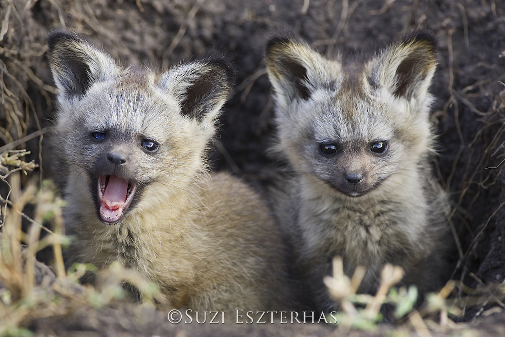 Bat-eared fox<br /> Otocyon megalotis<br /> 6 week old pup(s)<br /> Masai Mara Conservancy, Kenya