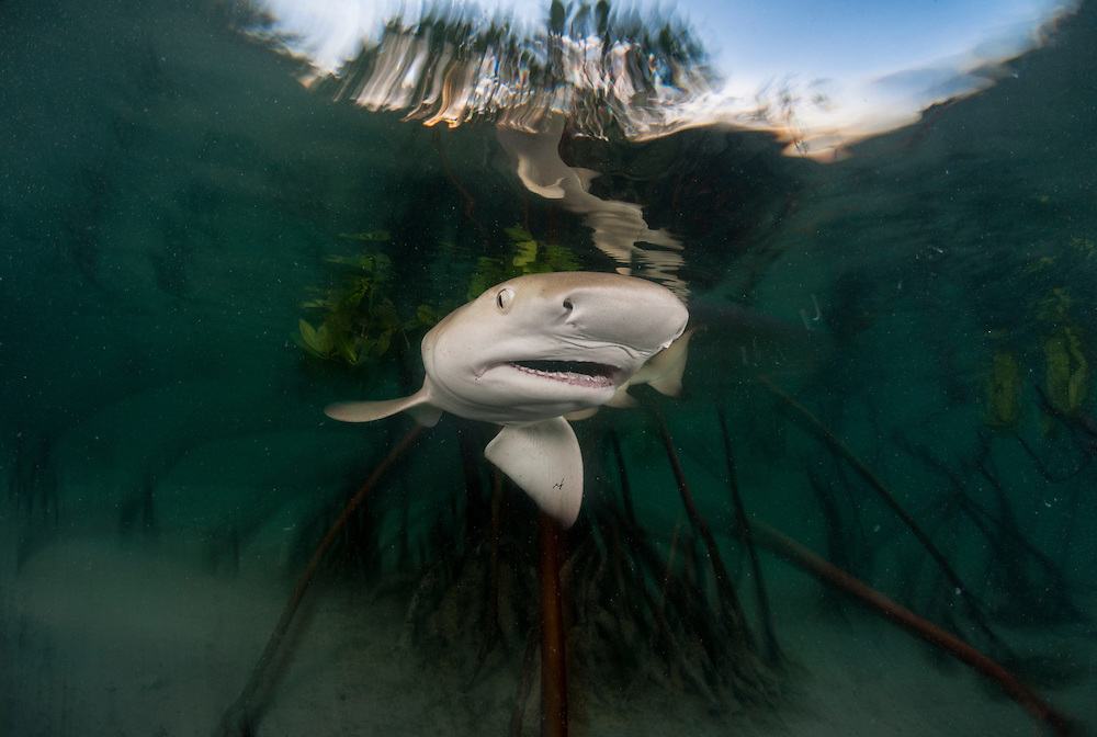 A lemon shark pup swallows a leaf before spitting it out.