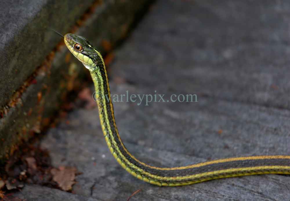 02 June 2014. Jean Lafitte National Historic Park, Louisiana.<br /> An Eastern Ribbon snake in the swamp at the Barataria Preserve wetlands south or New Orleans.<br /> Charlie Varley/varleypix.com