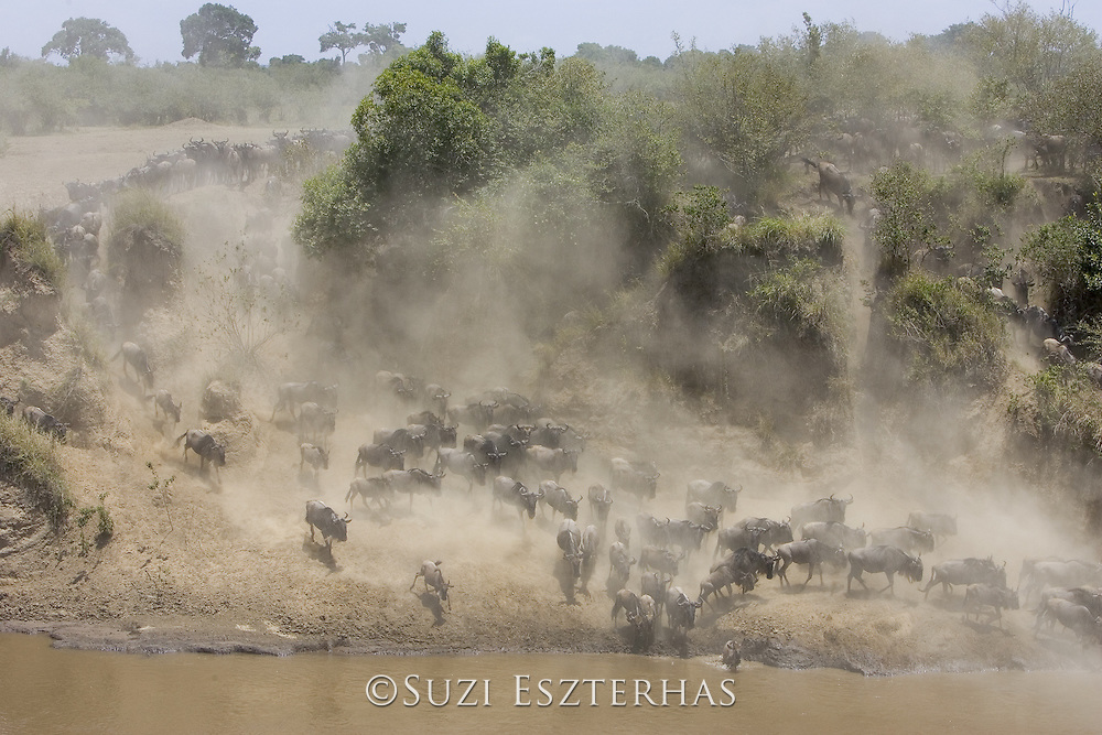 Wildebeest<br /> Connochaetes taurinus<br /> Maasai Mara Reserve, Kenya<br /> Wildebeest crossing the Mara River during dry season