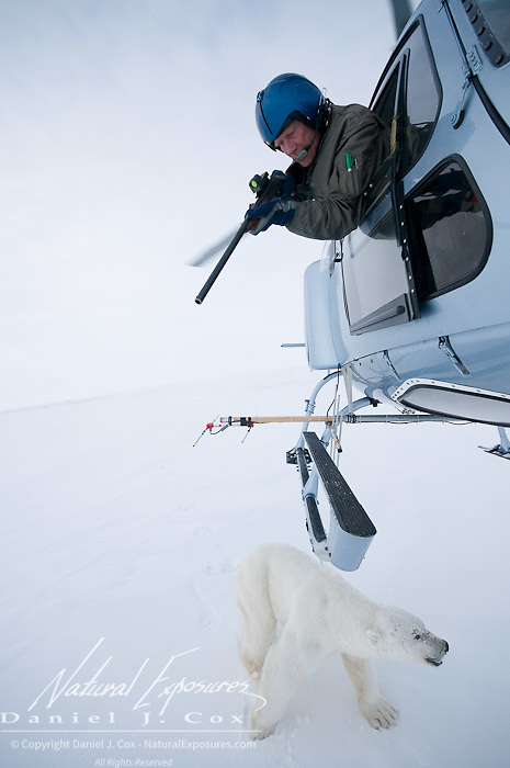 Dr Steven Amstrup leans out of a flying helicopter to shoot an immobilizing drug into a polar bear. Beaufort Sea, Alaska.