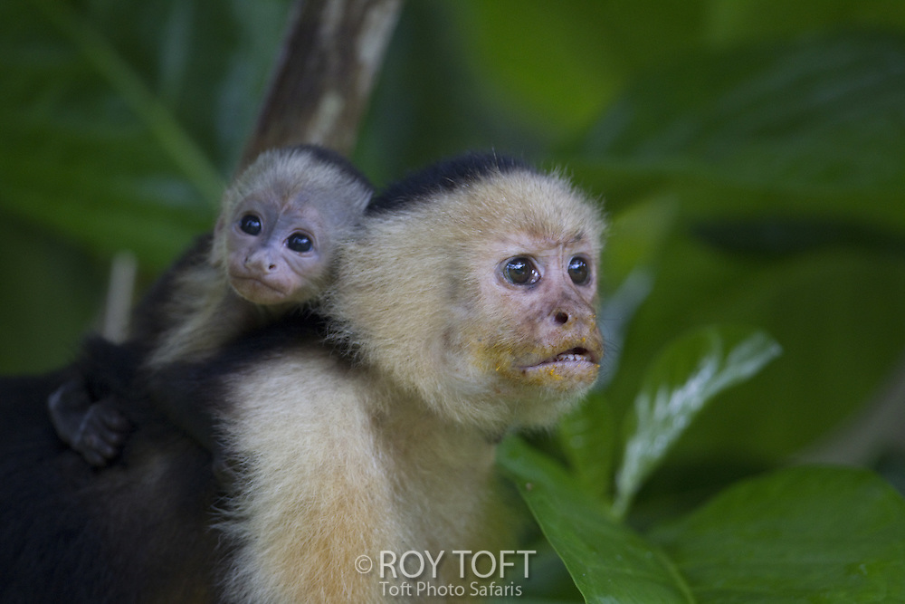 Closeup of an adult and juvenile brown capuchin monkeys, Osa Peninsula, Costa Rica