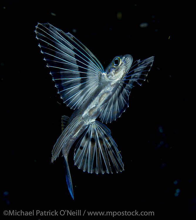 Young Flying Fish, Cheilopogon sp., drifting at night in the Gulf Stream offshore Palm Beach, Florida, United States.