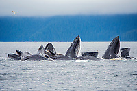 Humpback whales bubble net feeding for herring off of Admiralty Island in Southeast Alaska.
