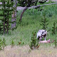 Face Off! Gray wolf holding ribs of elk kill in his mouth. Yellowstone National park, Wyoming.
