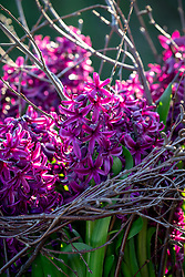 Hyacinthus 'Purple Sensation' supported with silver birch twigs.