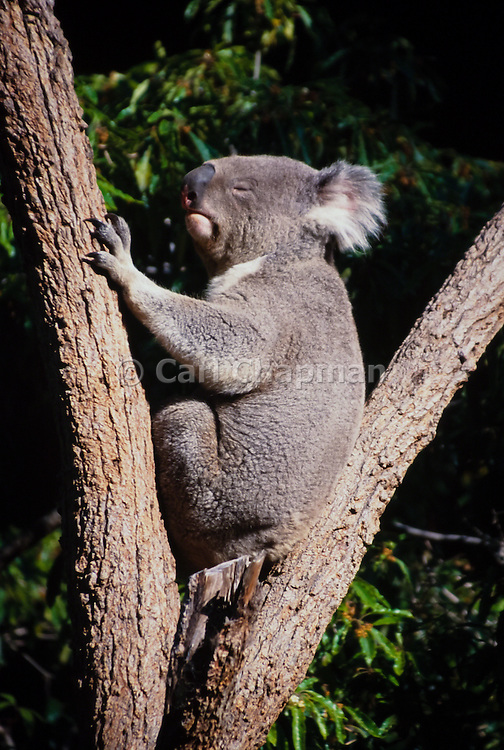 Koala bear in a tree (captive)