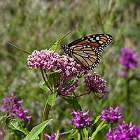 Monarch butterfly (Danaus plexippus)  feeding on Swamp Milkweed (Asclepias incarnata).