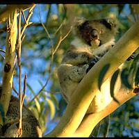 Australian Native Fauna