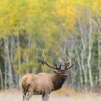 bugling bull elk fall rut