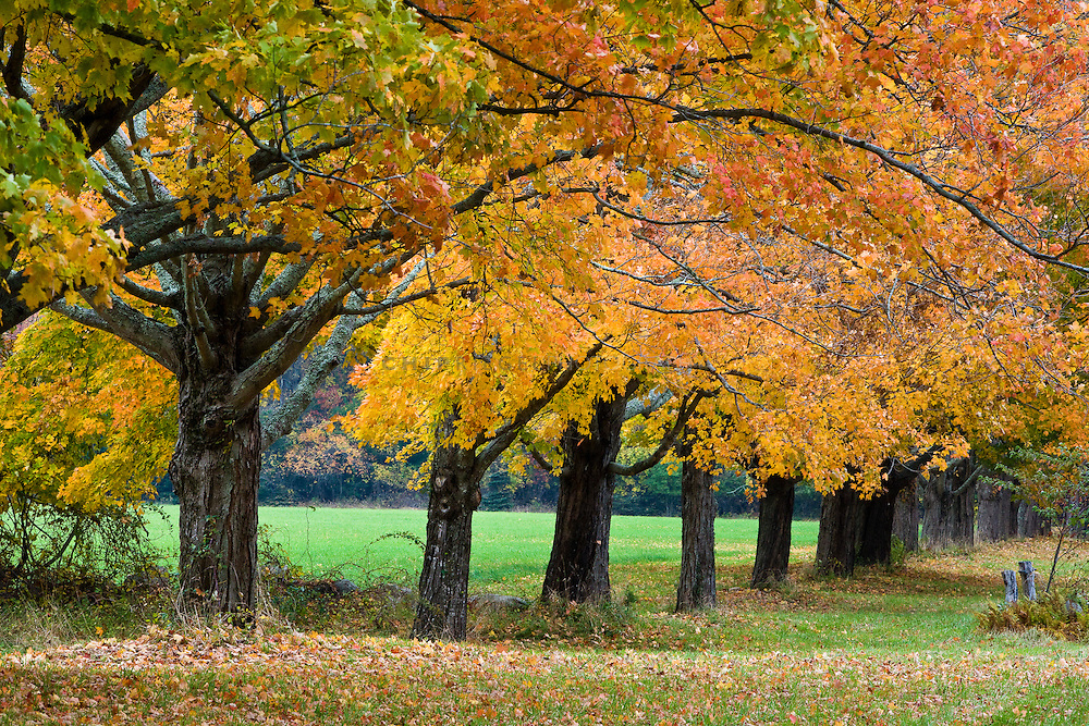 Fall comes to western Rhode Island. The foliage is at or just beyond its peak.