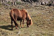 Iceland, snaefellsnes peninsula. Icelandic horse farming