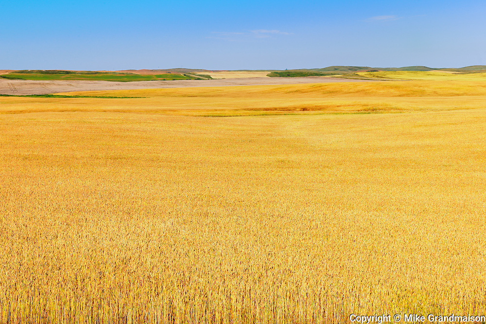 Wheat field<br /> Beverley<br /> Saskatchewan<br /> Canada