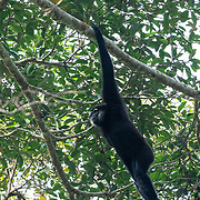 The agile gibbon (Hylobates agilis), also known as the black-handed gibbon, is an Old World primate in the gibbon family. In Thailand it is found only in the Hala Bala Complex.  The species is listed as endangered on the IUCN Red List.