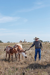 Will Cradduck, Herd Manager, with Texas longhorns from Official State of Texas Longhorn Herd in front of fort remnants, Fort Griffin State Historic Site, Albany, Texas USA.