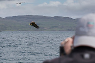 White Tailed Eagle (Haliaeetus albicilla) being photographed while eagle catches fish