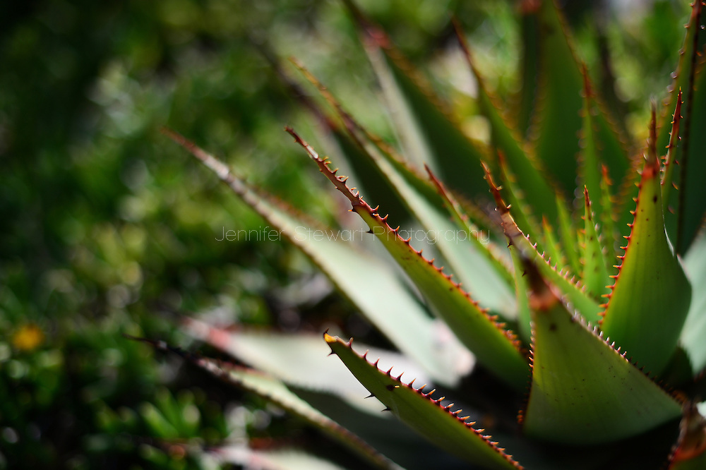 SUPERIOR, AZ - March 19: Detail view of agave. (Photo by Jennifer Stewart)