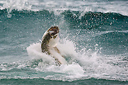 A Tarpon, Megalops atlanticus, throws a fisherman's hook while leaping in the surf offshore Singer Island, Palm Beach County, Florida, United States during the annual mullet migration.