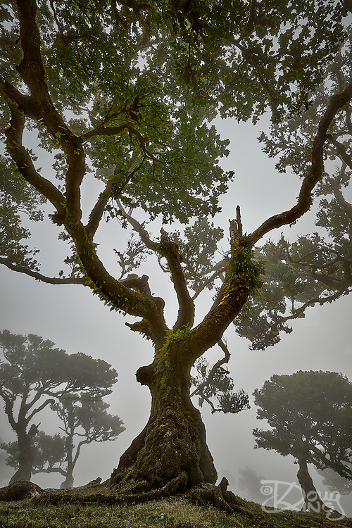 Ancient laurel trees in Fanal forest on the island of Madeira are stunted by age and harsh conditions. When the clouds blow up over the mountain top and twine through the trees it creates this ethereal effect. To exaggerate the twisted nature of the trees I laid on my back on the ground and shot over my head with a wide angle lens.