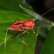 Reduviidae Assassin bug